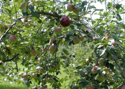 Apple Maggot Trap in PaulaRed