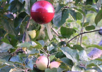 Apple Maggot Trap in PaulaRed2