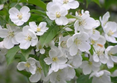 Crabapple Blossoms 5.07.07
